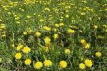 Thumbnail dandelion meadow