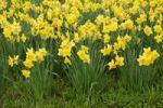 Thumbnail Daffodils, daffodils (Narcissus)