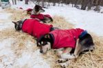 Thumbnail Sled dogs with dog coats resting on straw, Alaskan Huskies, Yukon Territory, Canada