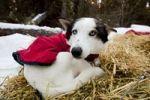Thumbnail Blue-eyed sled dog with dog coat, resting on straw, curled up, Alaskan Husky, Yukon Territory, Canada