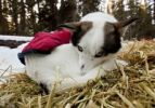 Thumbnail Blue-eyed sled dog with dog coat, resting on straw, curled up, Alaskan Husky, Yukon Territory, Canada