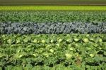 Thumbnail Vegetable field with Savoy cabbage, white cabbage and red cabbage