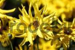 Thumbnail sunflower Helianthus pauciflorus Miss Melisch Helianthus rigidus Miss Melisch