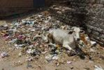 Thumbnail Cow lying on garbage, Jodphur, Rajasthan, India, Asia