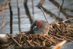 Thumbnail Little grebe, Dabchick (Tachybaptus ruficollis), Allgaeu, Bavaria, Germany, Europe