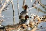 Thumbnail Little grebes, Dabchicks (Tachybaptus ruficollis), copulation, Allgaeu, Bavaria, Germany, Europe
