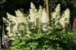 Thumbnail flowering goats beard Aruncus dioicus
