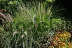 Thumbnail chinese fountain grass Pennisetum alopecuroides Pennisetum compressum