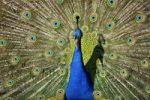 Thumbnail Indian Peafowl (Pavo cristatus) displaying its tail