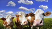Thumbnail Drei Kühe auf einer Löwenzahnwiese mit blauem Himmel und weißen Wolken