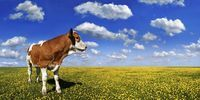 Thumbnail Calf standing on a meadow with dandelions against a blue sky with white clouds