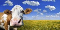Thumbnail Cow standing on a meadow with dandelions against a blue sky with white clouds