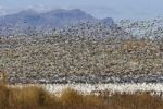 Thumbnail Snow Geese (Anser caerulescens atlanticus, Chen caerulescens) overwintering, large flock, Bosque del Apache Wildlife Refuge, New Mexico, USA