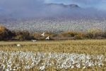 Thumbnail Snow Geese (Anser caerulescens atlanticus, Chen caerulescens) overwintering, Bosque del Apache Wildlife Refuge, New Mexico, USA