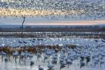 Thumbnail Snow Geese (Anser caerulescens atlanticus, Chen caerulescens) at their resting-place at dusk, wintering quarters, Bosque del Apache Wildlife Refuge, New Mexico, North America, USA