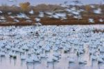 Thumbnail Snow Geese (Anser caerulescens atlanticus, Chen caerulescens) before sunrise, dawn, Bosque del Apache Wildlife Refuge, New Mexico, North America, USA