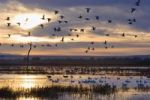 Thumbnail Snow Geese (Anser caerulescens atlanticus, Chen caerulescens) at sunrise, Bosque del Apache Wildlife Refuge, New Mexico, North America, USA