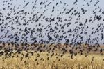 Thumbnail Red-winged Blackbirds (Agelaius phoeniceus), swarm flying, wintering in the Bosque del Apache Wildlife Refuge, New Mexico, USA