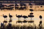 Thumbnail Sandhill Cranes (Grus canadensis) at sunrise, dawn, Bosque del Apache Wildlife Refuge, New Mexico, North America, USA