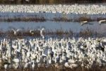 Thumbnail Snow Geese (Anser caerulescens atlanticus, Chen caerulescens) wintering in the Bosque del Apache Wildlife Refuge, New Mexico, USA, North America