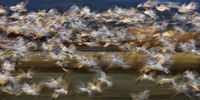 Thumbnail Snow Geese (Anser caerulescens atlanticus, Chen caerulescens) flying, abstract, in the Bosque del Apache Wildlife Refuge, New Mexico, USA, North America
