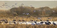 Thumbnail Snow Geese (Anser caerulescens, Grus canadensis) and Sandhill Cranes (Grus canadensis) wintering in the Bosque del Apache Wildlife Refuge, New Mexico, North America, USA
