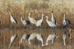 Thumbnail Sandhill Cranes (Grus canadensis) in the water, reflection, Bosque del Apache Wildlife Refuge, New Mexico, North America, USA
