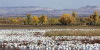 Thumbnail Snow Geese (Anser caerulescens atlanticus, Chen caerulescens) overwintering, on the water, Bosque del Apache Wildlife Refuge, New Mexico, USA