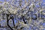 Thumbnail Flowering Cherrytree Prunus avium