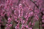 Thumbnail Flowering peach tree orchard, peach tree (Prunus persica), Provence, France, Europe