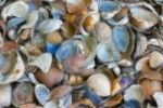 Thumbnail Texture, sea shells, filtered fractally