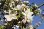 Thumbnail Flowers and buds of an apple tree (Malus spp.) Samerberg, Bavaria, Germany, Europe