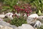 Thumbnail Red blossoming saxifrage (Saxifraga arendsii hybrid)