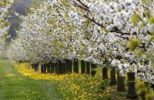 Thumbnail Blossoming cherry trees, Thuringia, Germany, Europe