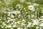 Thumbnail marguerite Leucanthemum