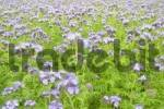 Thumbnail Phacelia Phacelia tanacetifolia used as organic fertilizer or green dung on a acre