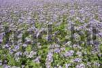 Thumbnail Phacelia Phacelia tanacetifolia used as organic fertilizer or green dung on a acre