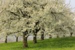 Thumbnail Flowering cherry trees in spring