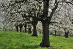 Thumbnail Flowering cherry trees in spring