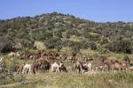 Thumbnail Dromedaries or Arabian Camels (Camelus dromedarius), Morocco, Africa