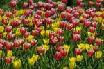 Thumbnail Tulips (Tulipa spp.)