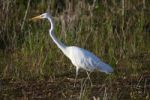 Thumbnail Great Egret (Egretta alba) in eclipse plumage