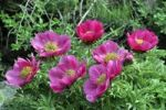 Thumbnail Low peony (Paeonia officinalis subspecies microcarpa), Southern Europe