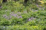 Thumbnail Ferns and Perennial Honesty (Lunaria rediviva)