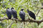 Thumbnail American Black Vultures (Coragyps atratus) in rainforest, Costa Rica, Central America