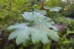 Thumbnail Gunnera (Gunnera insignis) in mountain rainforest of Tapanti National Park, Costa Rica, Central America