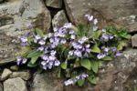 Thumbnail Wallflower (Haberlea rhodopensis), Balkan