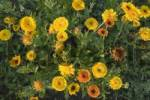 Thumbnail calendula flowers in a flower bed