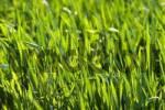 Thumbnail grain field