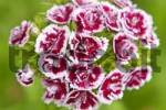 Thumbnail sweet william Dianthus barbatus